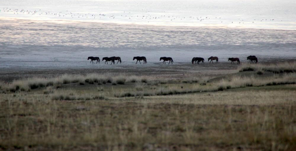 Horses at the Xilamuren Grassland