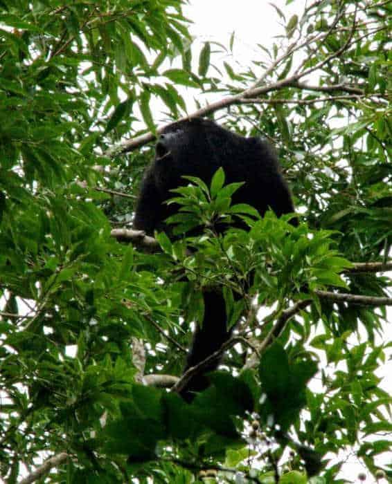 Wildlife at Yaxha ruins Guatemala - Howler Monkey