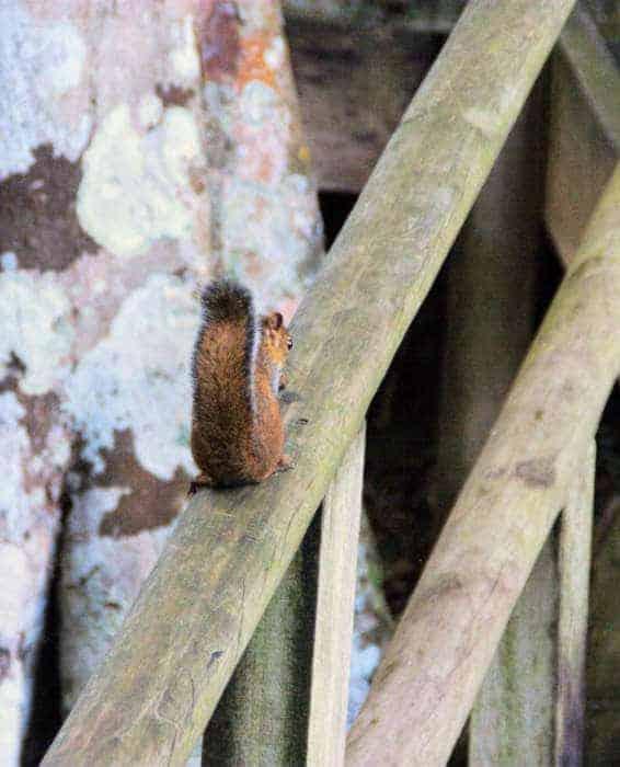 Wildlife at Yaxha ruins in Guatemala - Squirrel