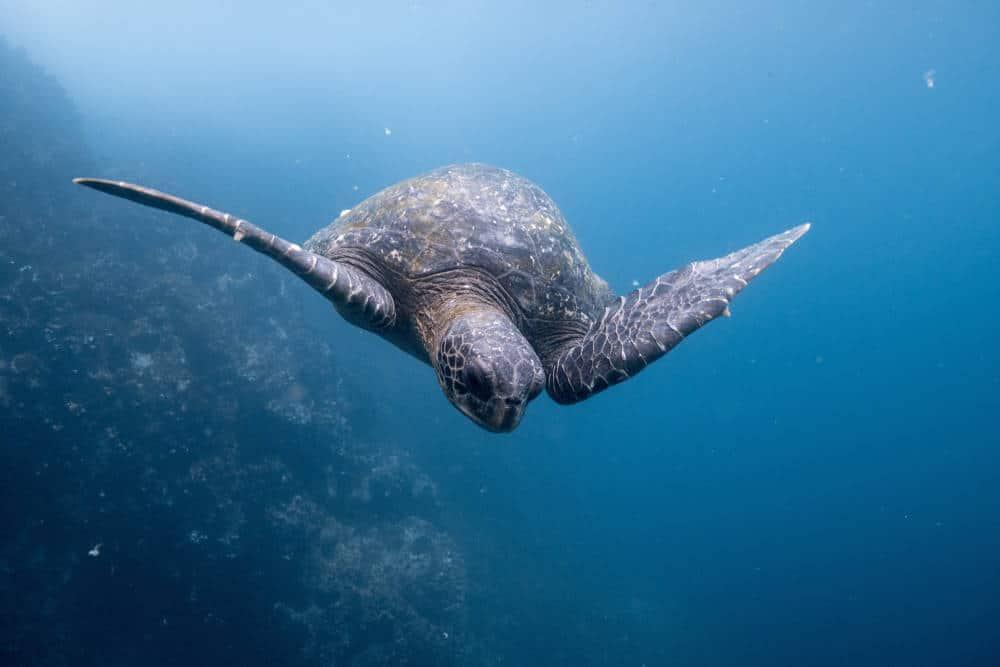 Galapagos tortoise - Ecuador