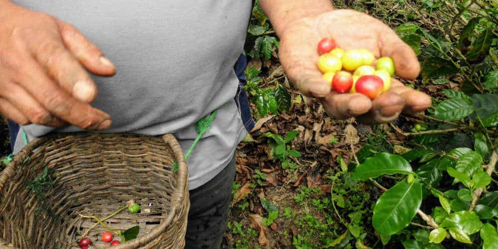 Learn how coffee is made in Salento Colombia